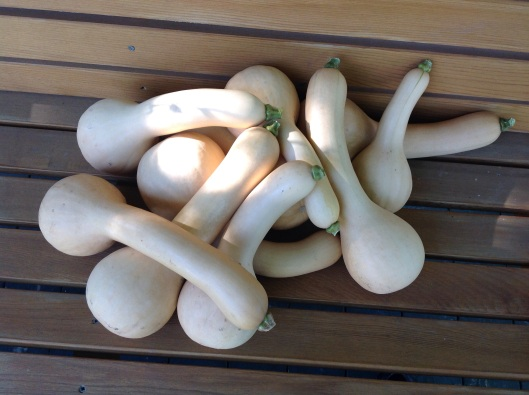 Courges Canada Crookneck