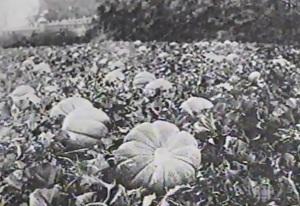 Melon Aubin (source Le Point 19 nov. 2002)