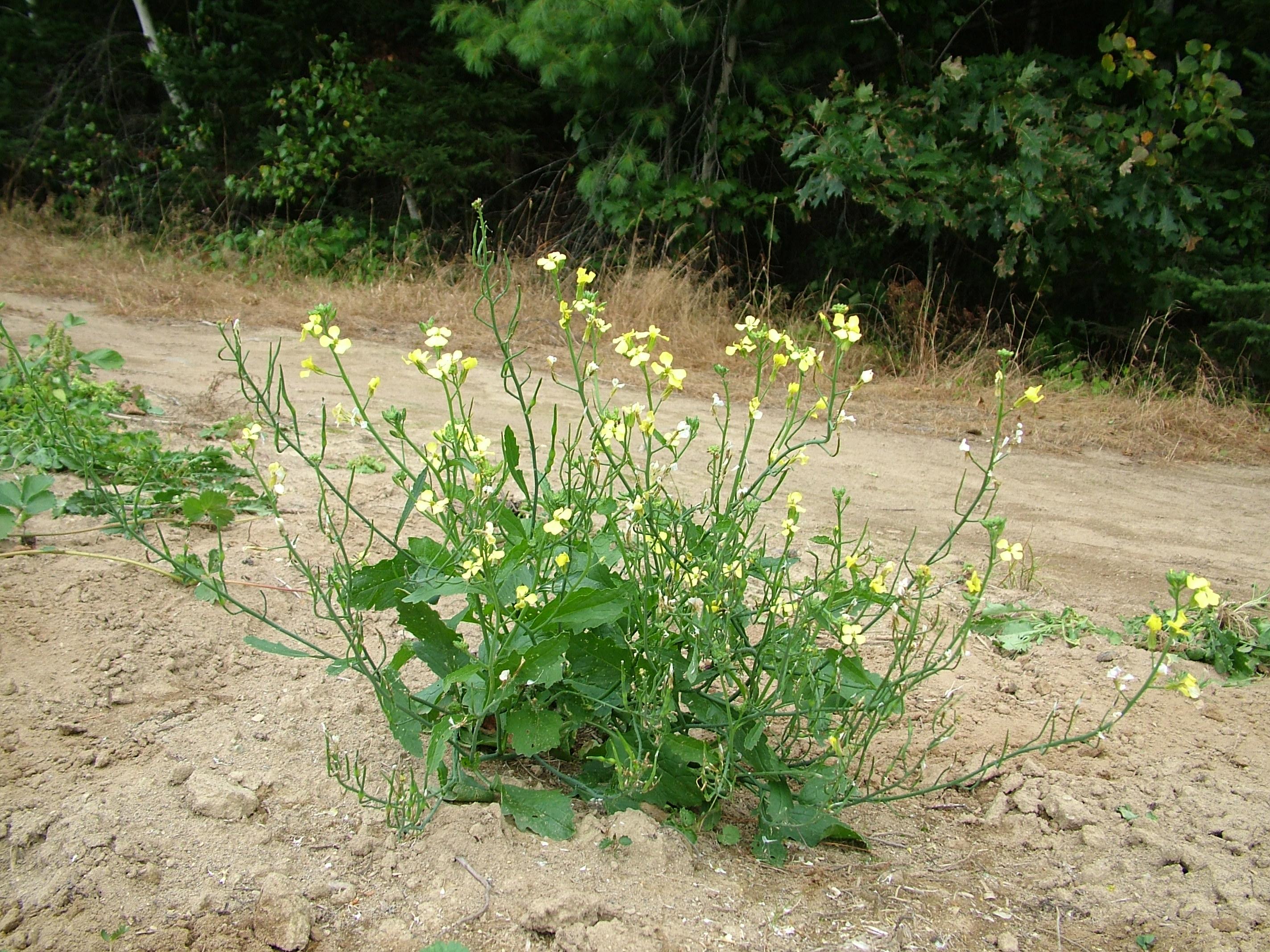 Comment reproduire et conserver vos semences de radis d - Comment semer des radis ...