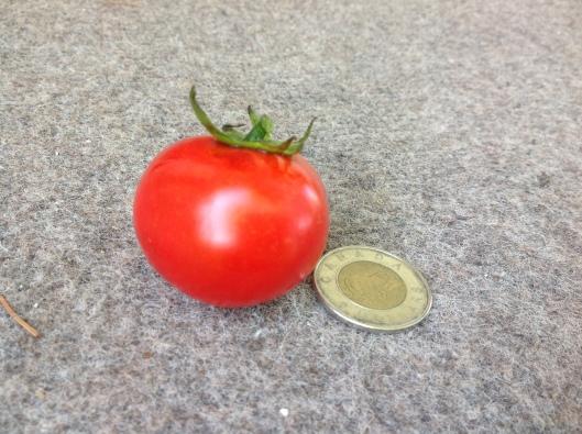 Tomate Petitbec