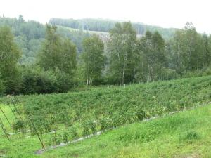 Champ de tomates ancestrales pour la confection du vin de tomate Omerto