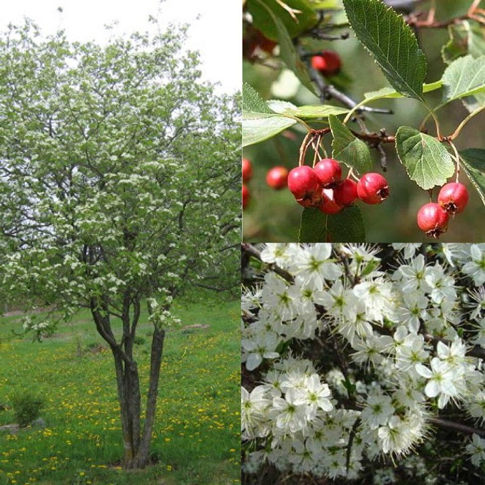 Plantes comestibles indig nes au qu bec potagers d 39 antan - Arbre murier fruit comestible ...