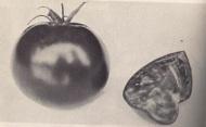 Tomate Canabec en 1971 (source: Encyclopédie du jardinier horticulteur)