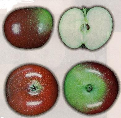 Pomme Canada Baldwin (source: Les pommiers de chez-nous)