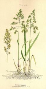 Foin d'odeur (souce: Ministère de l'agriculture du Canada, 1906)