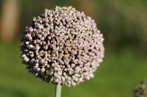 Fleur de poireau (source: www.mon-bio-jardin.com)
