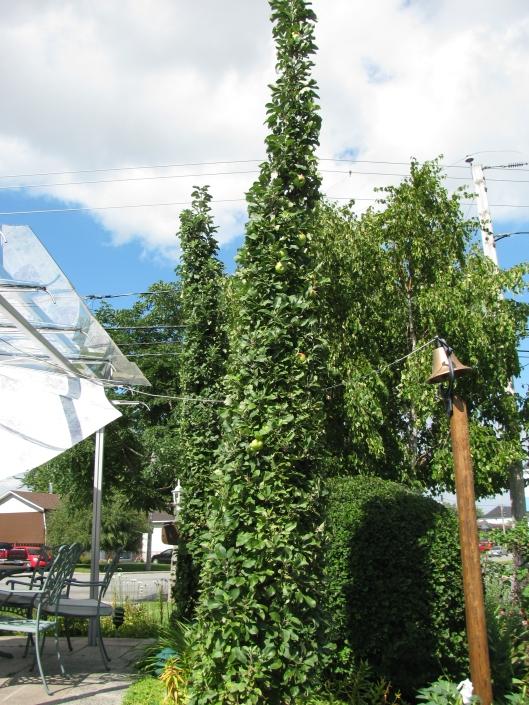 Pommiers colonnaires cultivés depuis déjà une trentaine d'années.