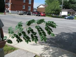 Une feuille de maackia. Pas facile à ramasser à l'automne car elles tombent toutes en même temps et prennent beaucoup de place.