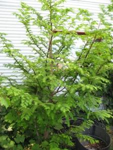 Même s'il grandi dans les zones tempérés, Jules est parvenu a cultiver un métaséquoia, dernière espèce de l'ère du Pilocène... Ça veut dire que c'est très vieux.