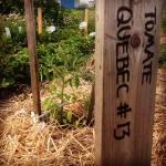 Tomate Quebec #13
