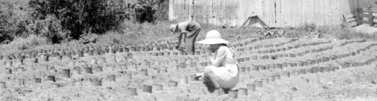 Plantation de tomates au printemps (date et auteur inconnus)