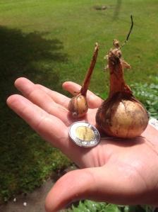 Petit oignon-patate à planter versus oignon-patate mature