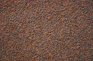 Semences de chou (source: www.gnis-pedagogie.org)