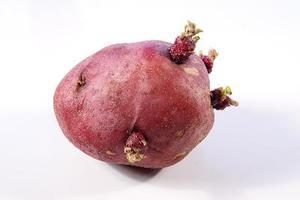 Œils de pomme de terre