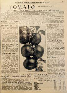 Tomate Alacrity (source: catalogue Dupuy & Ferguson, 1916, p.25)