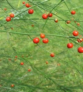 Fruits d'asperge (source: http://www.usaquitaine.fr)