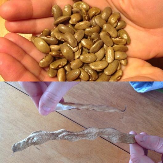 Haricots de la Famille Ferland (en bas: cosses séchées en comparaison à un haricot moderne)