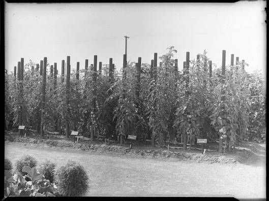 Plants de tomates au Jardin Botanique de Montréal en 1940 (source: Archives et bibliothèque nationale du Québec)