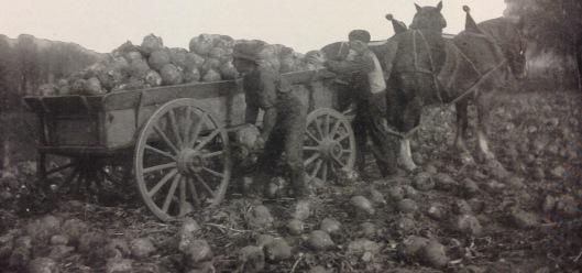 Récolte de betteraves (1918)