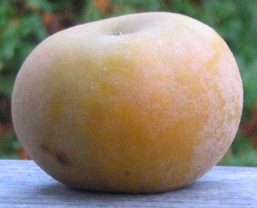 Pomme French Russet (source: http://adamapples.blogspot.ca)