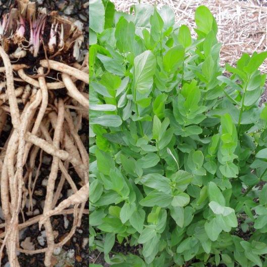 Chervis (racines et feuillage) images: droite botanica-suisse.org / gauche: Jacques-brisant.fr