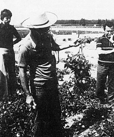 Roger Doucet exhibe un plant de tomates à paroi ferme (source: LE NOUVEAU CLAIRON — Mercredi, 13 SEPTEMBRE 1978, p. 8)